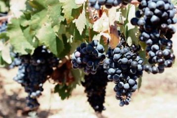 Nuestras uvas