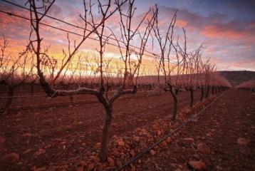 Ruta del Vino de la Garnacha - Ruta del Vino de la Garnacha. Viñedo