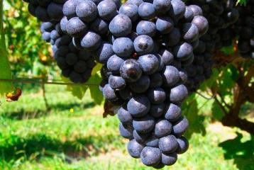 Bodega Basarte - Nuestra uva