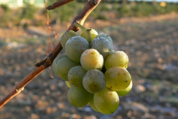 Bodega Copaboca - Detalle uva