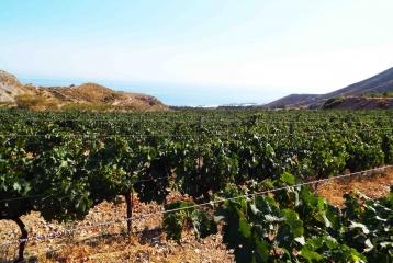 Bodegas Bolabana - La viña, a orillas del mediterráneo.