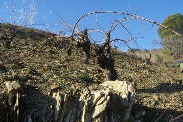 Genium Celler - Las viñas viejas