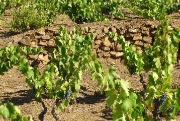 Genium Celler - Las viñas