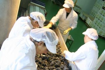 Bodegas Hermanos Peciña - Seleccionando la uva