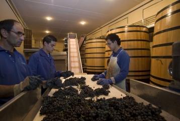 Bodegas Valdubón - Seleccionando la uva