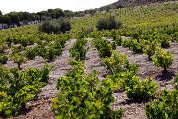 Bodega de Alboloduy - Uno de los objetivos de nuestra bodega es volver a cultivar viñas en la zona de Montenegro