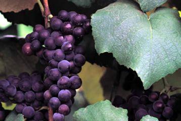 Bodega de Alboloduy - Nuestros vinos se elaboran a partir de uvas procedentes de viñedos de producción limitada a un máximo de 6.000 Ha.