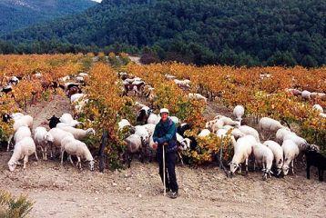 Bodegas Parés Baltà - Nuestra ovejas