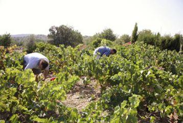 Centro de Interpretación del Vino y la Tonelería Artesana - Curso de viticultura. Vendimiando