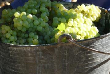 Bodegas y Viñedos Vegalfaro - Sauvignon Blanc