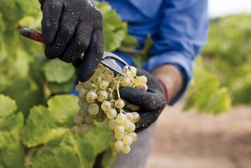 Bodegas Avgvstvs Forvm - Nuestras uvas