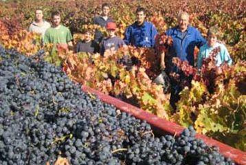Bodegas Murillo Viteri - vendimia en los viñedos