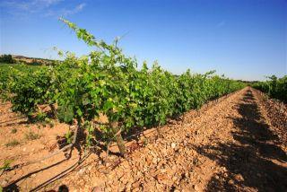 El viñedo en primavera