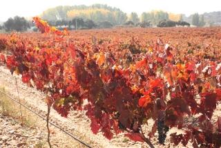 El viñedo de Finca La Rinconada en el emes de octubre