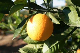 Naranja de la Familia Monzó