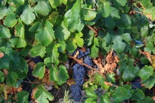 Pinot Noir de un viñedo de Juvé y Camps