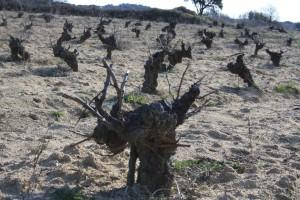 El viñedo de Viña Bonita, de Bernabeleva