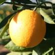El dulzor de las naranjas