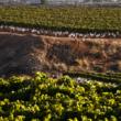 Ruta del vino en Alicante: el Vinalopó