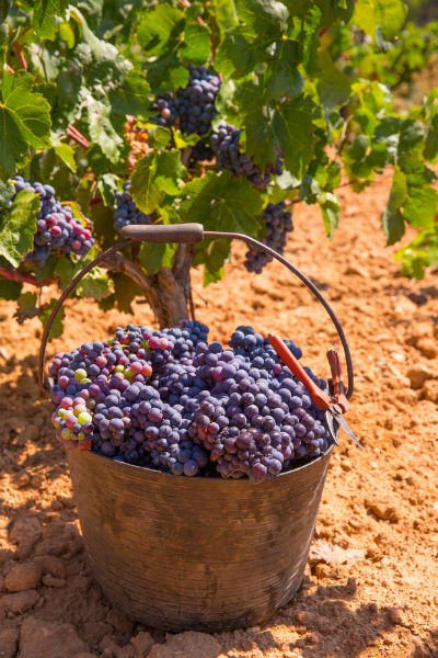Uva bobal recogida en cesto en viñedo