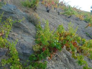 Viñas de CAriñena