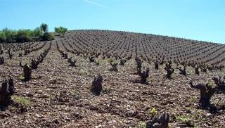 Uno de los viñedos de Quinta Mazuela