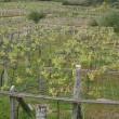 El cambio climático puede ser el boom de la uva tinta en Galicia